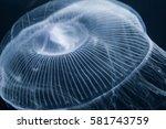 Small photo of Jellyfish (Aequorea coerulescens)