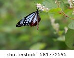 Small photo of Parantica sita, chestnut tiger butterfly