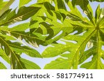 abstract texture of papaya leaf ... | Shutterstock . vector #581774911