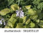 Blooming Hosta Sum And...