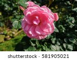 Stock photo a big pink rose in garden 581905021