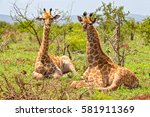 giraffe lying down. | Shutterstock . vector #581911369