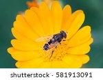 Hoverfly Eristalis On Calendul...