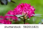 Beautiful Tropical Rhododendro...