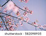 wild himalayan cherry with blue ... | Shutterstock . vector #582098935