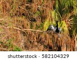 double crested cormorant | Shutterstock . vector #582104329