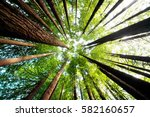 Ancient California redwood trees, Beech Forest, great ocean road, Victoria, Australia - stock photo