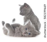 Stock photo two small gray kitten playing isolated on white background 582199669