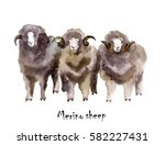 Merino Sheep Watercolor On The...