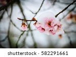 Fruit Tree Blossoms In The Sno...