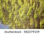 rice sprout growing in paddy.   Shutterstock . vector #582379159