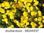 Oenothera  Evening Primrose