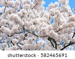 cherry blossoms blooming in... | Shutterstock . vector #582465691