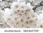 cherry blossoms blooming in... | Shutterstock . vector #582465709