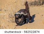 honey badger | Shutterstock . vector #582522874