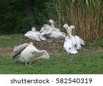 Five Of Dalmatian Pelicans On...