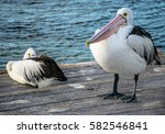 cold australian pelicans trying ... | Shutterstock . vector #582546841