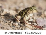 couch's spadefoot toad or couch'... | Shutterstock . vector #582564229