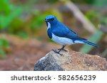 beautiful blue bird  male of...   Shutterstock . vector #582656239
