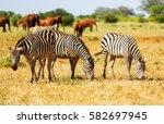 Wild Zebras On Savanna In Tsav...