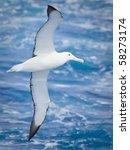 royal albatross in flight at... | Shutterstock . vector #58273174