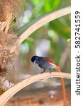 Small photo of The African Paradise Flycatcher an elegant male sits on a tree