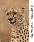 a portrait of cheetah with... | Shutterstock . vector #582768511