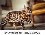 Bengal Cat Like A Leopard Sneaks