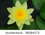 ํํYellow water lily - stock photo