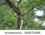 Small photo of American Redstart (juvenile)