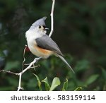 Perching Tufted Titmouse