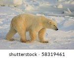 Healthy Polar Bear In The...