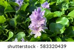 Small photo of The flowers of water hyacinth purple lined up according to the field.