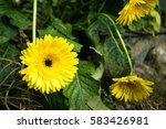 gerbera | Shutterstock . vector #583426981