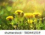 yellow dandelions. close up.... | Shutterstock . vector #583441519