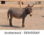 American Miniature Donkey Foal