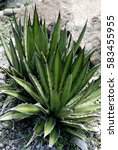 Small photo of Agave parviflora in Merano - Italy.