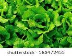 green lettuce plants in growth... | Shutterstock . vector #583472455
