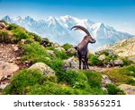 Alpine Ibex (Capra Ibex) on the Mont Blanc (Monte Bianco) background. Misty summer morning in the Vallon de Berard Nature Reserve, Graian Alps, France, Europe.  - stock photo