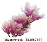 magnolia pink flowers blossom... | Shutterstock . vector #583567594