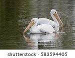 Birds White Pelicans Floating...