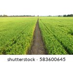 cornfield have green color and...