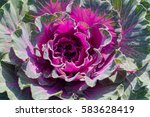 Decorative Garden Cabbage...