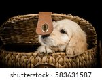labradoodle puppy in a wicker... | Shutterstock . vector #583631587