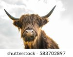 Scottish Highland Cattle On A...