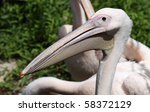 Close-up view of a Great White Pelican 02 - stock photo