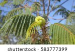 Small photo of Flora of Gran Canaria - Albizia distachya, australian mimosa