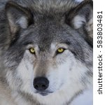 Small photo of Alpha male Timber wolf portrait in winter