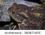 common toad or european toad.... | Shutterstock . vector #583871605