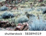 Small photo of Hunting Coyote